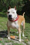 Bull Terrier Dog: Gulliver