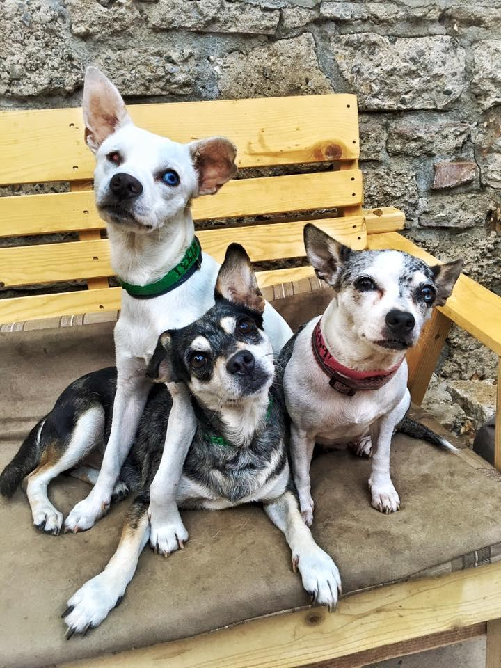 Audrey, Hank, Waylon, an adopted Chihuahua Mix in Los Angeles, CA