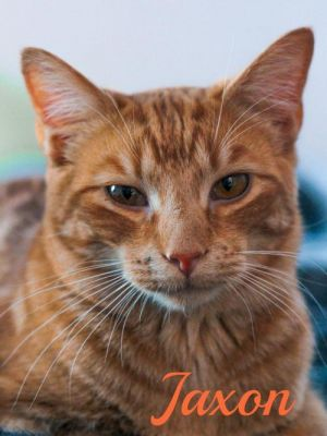 Meet Jaxon Jaxon is the sweetest boy He gets along so well with the other kitties in his foster ho