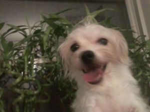 Dog For Adoption Suzy A Havanese Mix In White Plains Ny