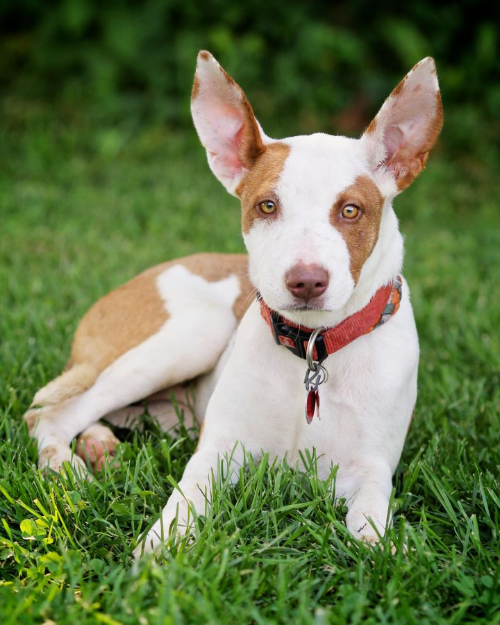 Isabella, an adopted Ibizan Hound Mix in Wauconda, IL