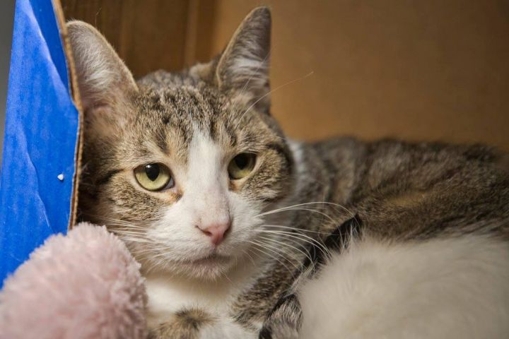 May, an adoptable Tabby & Domestic Short Hair Mix in Waverly, IA