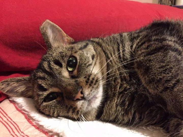 Moola ADOPTED:), an adopted Tabby & Tiger Mix in Waverly, IA