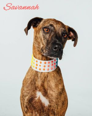 Savannah is a 8-9 year old HoundBoxer mix Savannah has lived in the same home