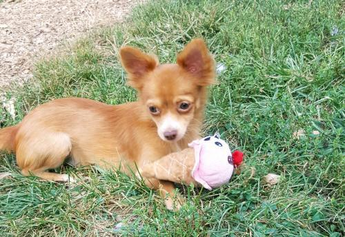 Sandy The Long Haired Chihuahua, A