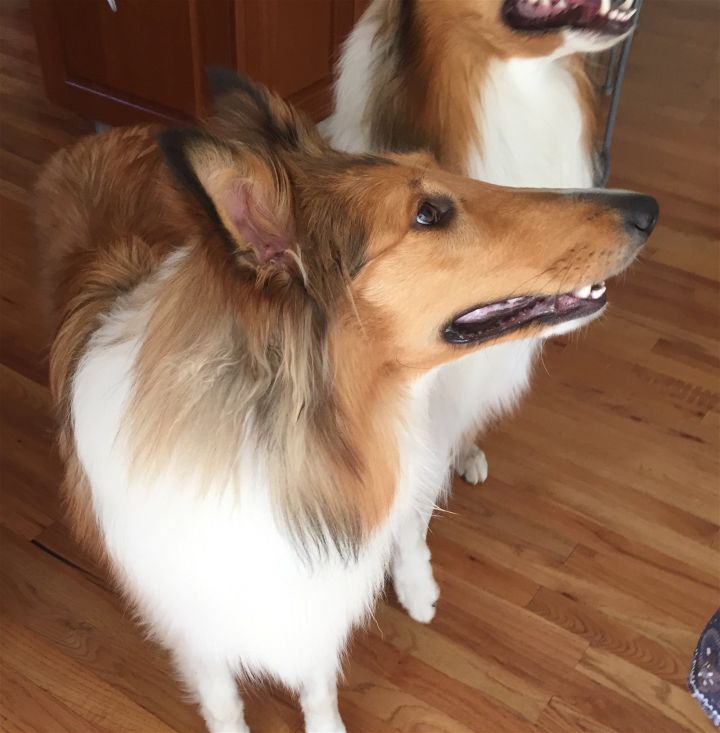 Winnie, an adopted Collie in Chantilly, VA