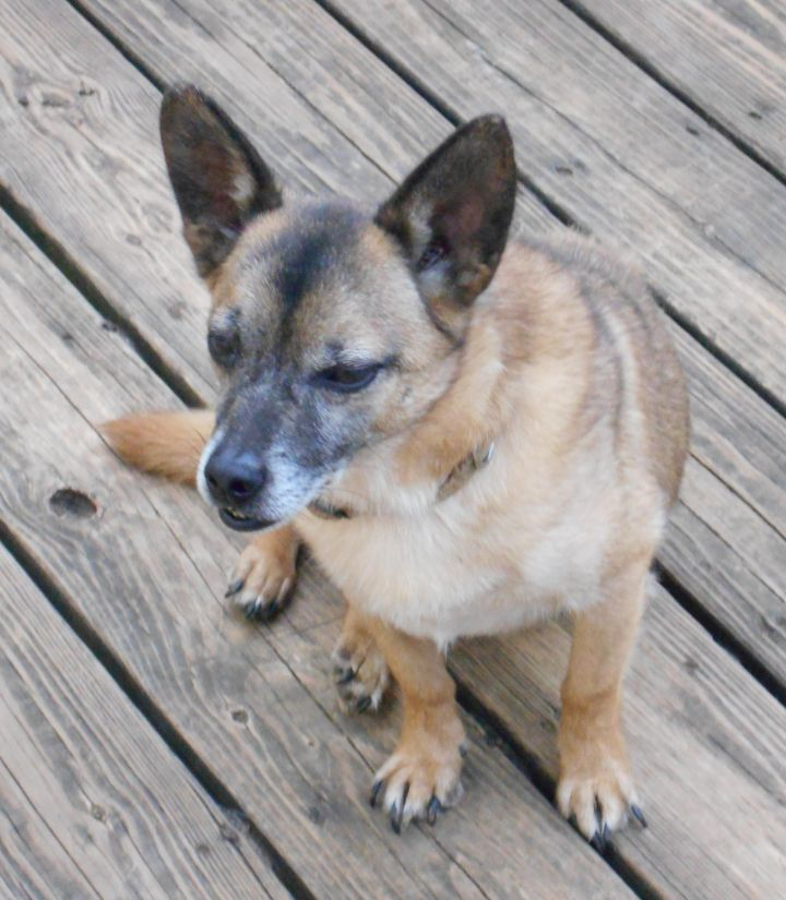 Dog for adoption - Skip, a Terrier & Norwegian Elkhound Mix