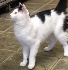 Miss Kitty, an adoptable Domestic Short Hair in Saint Charles, IL
