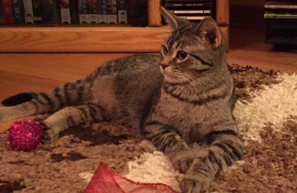 Ross, an adopted Domestic Short Hair in Madison, WI
