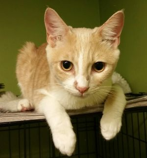 Shakey American Shorthair Cat
