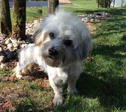 Isaac, an adopted Dandie Dinmont Terrier in Mechanicsburg, OH_image-1