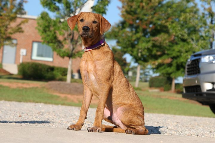 Dash, an adopted Hound Mix in Greensboro, GA