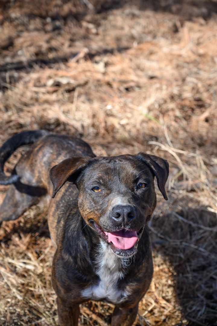 Ruthie, an adoptable Hound & Labrador Retriever Mix in Millington, TN
