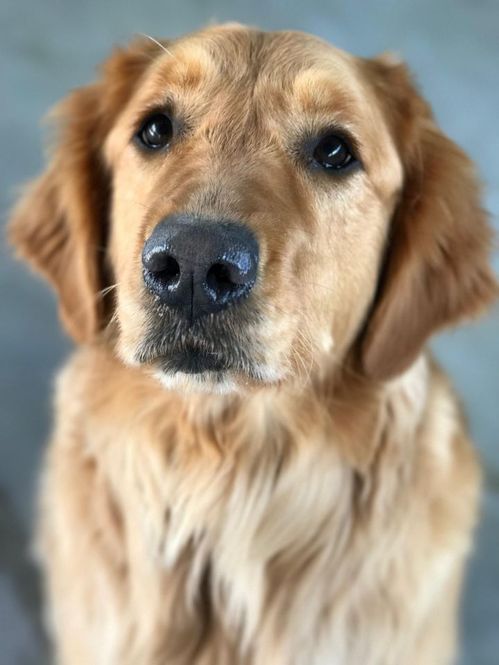 Cherie, an adopted Golden Retriever in Saint Louis, MO