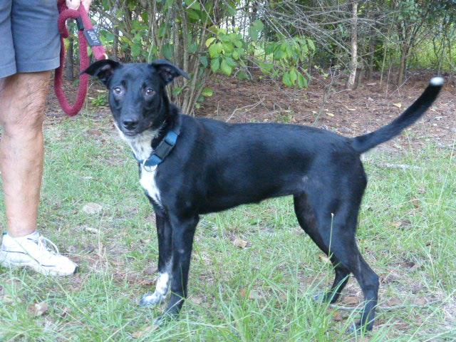 Millie, an adoptable Australian Cattle Dog / Blue Heeler Mix in Conway, SC