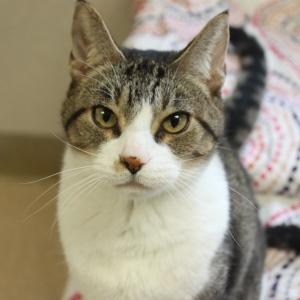 Stewey, an adoptable Domestic Short Hair in Naperville, IL_image-1
