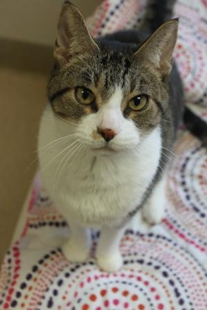 Stewey, an adoptable Domestic Short Hair in Naperville, IL_image-3