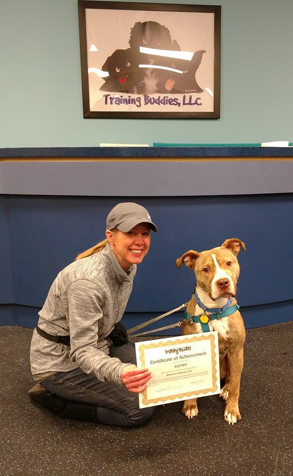 Gizmo!, an adopted American Staffordshire Terrier & Hound Mix in Northville, MI