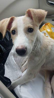 Selima Shepherd Dog