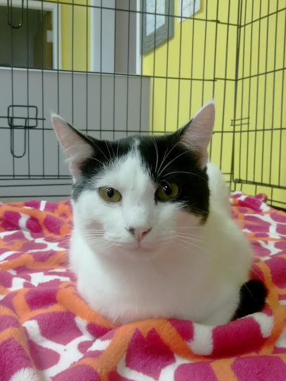 Lyell, an adoptable Domestic Short Hair Mix in Palo Cedro, CA