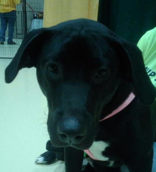 Raven, an adopted Labrador Retriever Mix in Winder, GA