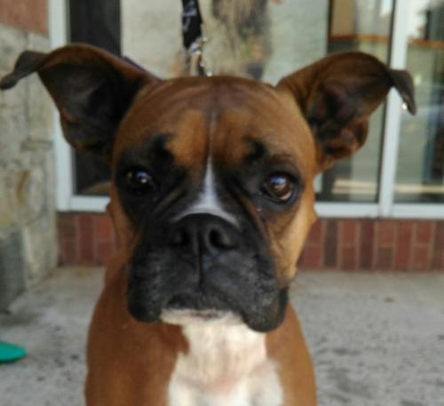 Bella, an adopted Boxer in Winder, GA