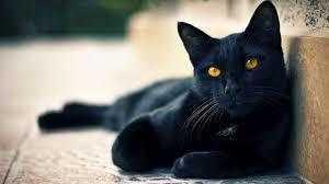 Barn Cats Domestic Short Hair Cat