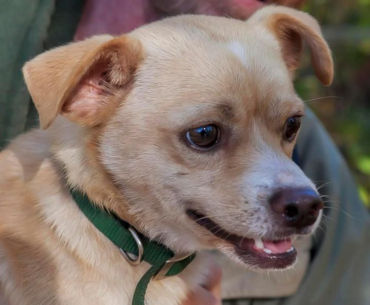 Dog for adoption - Ramsey, a Chihuahua Mix in Williamstown