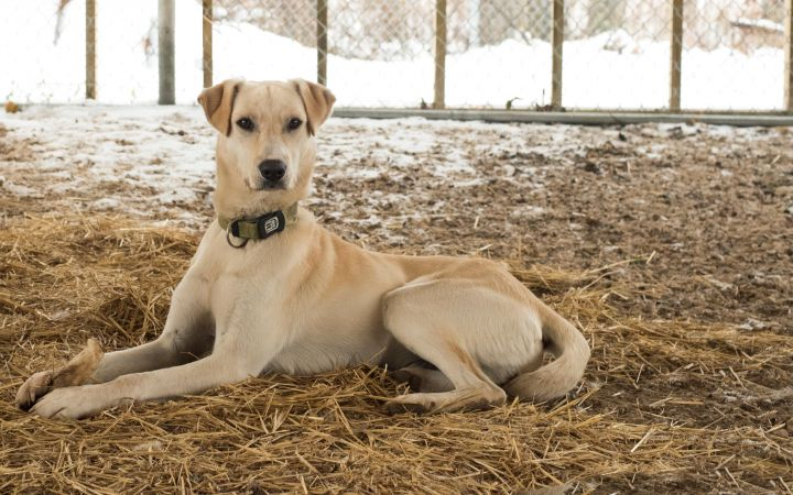 Silas, an adopted Labrador Retriever & Greyhound Mix in Fort Smith, NT