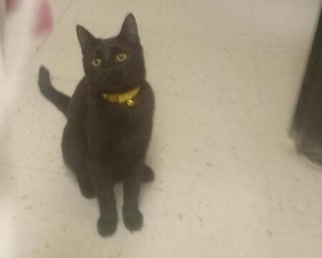 Skunk, an adoptable Domestic Short Hair in Waverly, IA