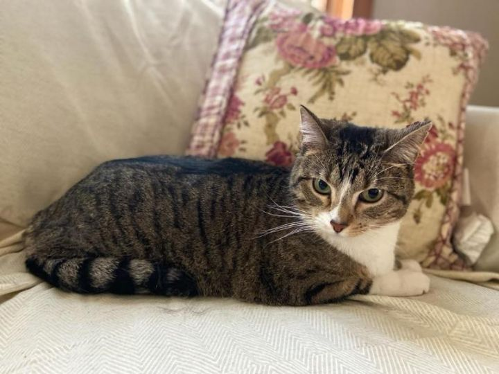Chestnut, an adoptable Tabby & Extra-Toes Cat / Hemingway Polydactyl Mix in Waverly, IA
