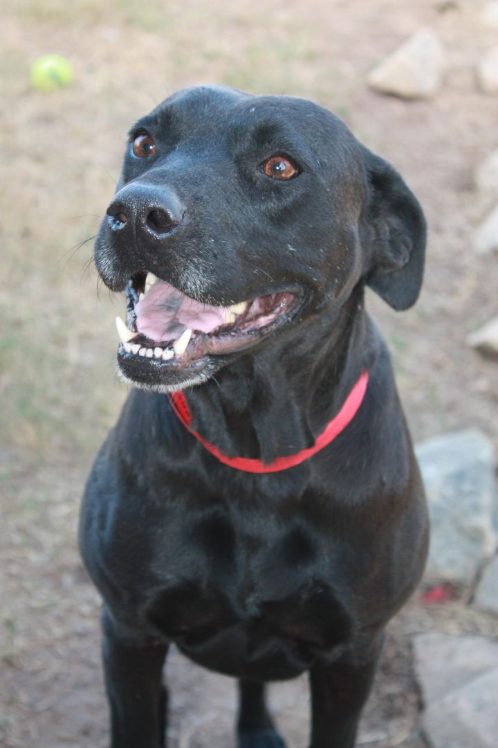 Ruby, an adopted Black Labrador Retriever Mix in Perry, GA