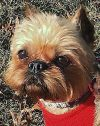 Brussels Griffon Dog: MILEY - Must be adopted with Levi