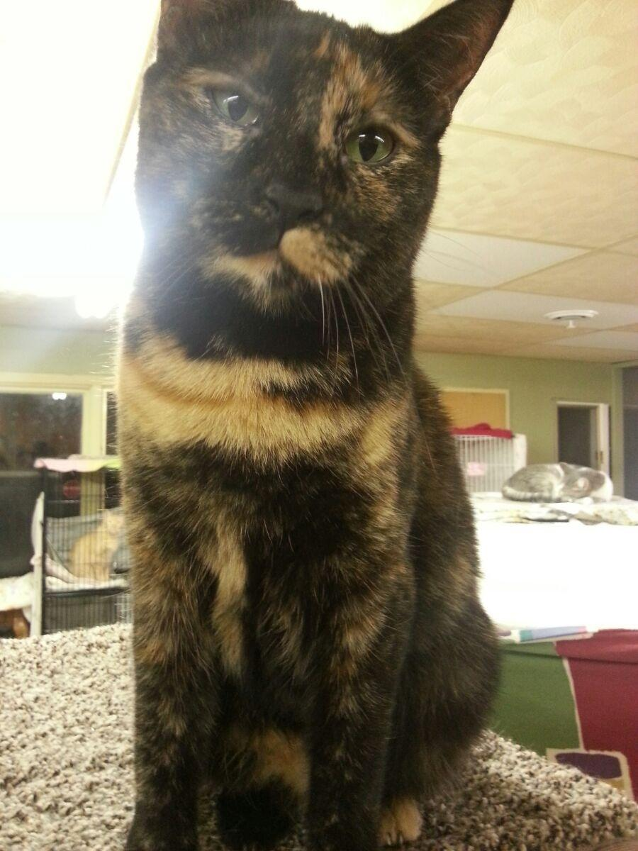 cat for adoption foxface near delevan ny petfinder