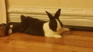 Tuxedo is a black and white male Dutch rabbit who is approximately 3-4 years old and looking for a f