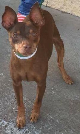 Dog For Adoption Pluto A Miniature Pinscher In Anchorage Ak