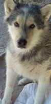Alaskan Malamute Dog: Aero aka Zeus
