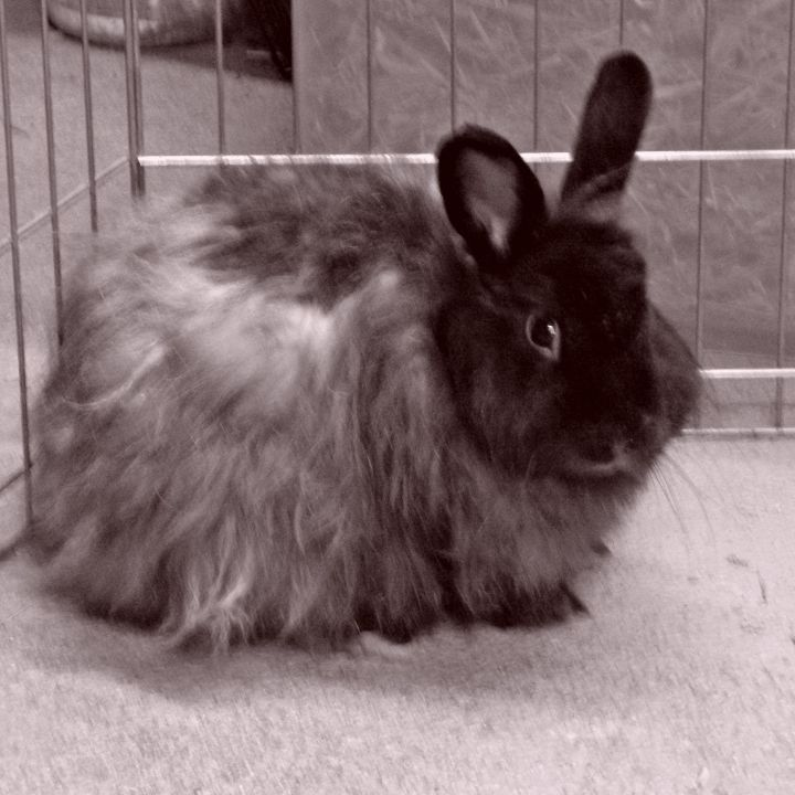 Rabbit For Adoption Norma Jean A Jersey Wooly Angora
