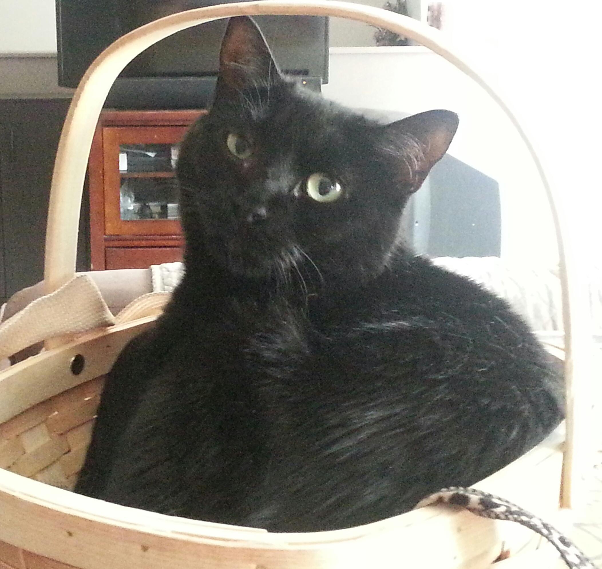 Cat for Adoption – Midnight Petite CT near New York NY