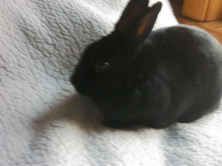 Onyx, an adopted Bunny Rabbit Mix in Cream Ridge, NJ