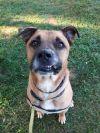 Norwegian Elkhound Dog: Chesty
