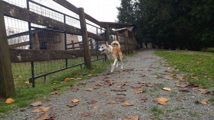 Rico, an adopted German Shepherd Dog & Border Collie Mix in Mission, BC