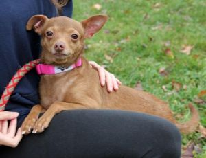 Keleah is an adorable Chihuahua mix who is about 7 years old and weighs around 1