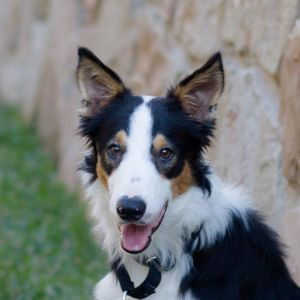 Dog for adoption - Dash, a Border Collie in The Woodlands