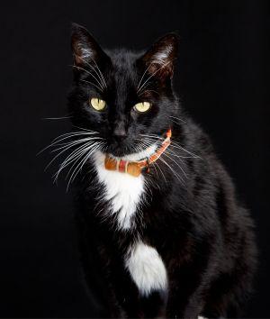 Gus Domestic Medium Hair Cat