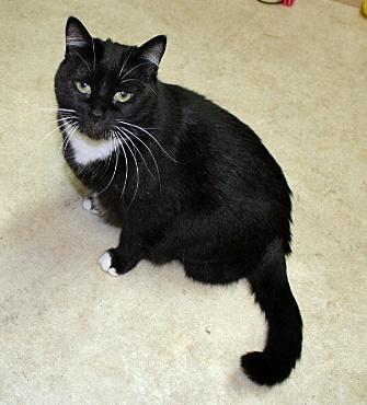 Daisy, an adoptable Tuxedo & Domestic Medium Hair Mix in Waverly, IA