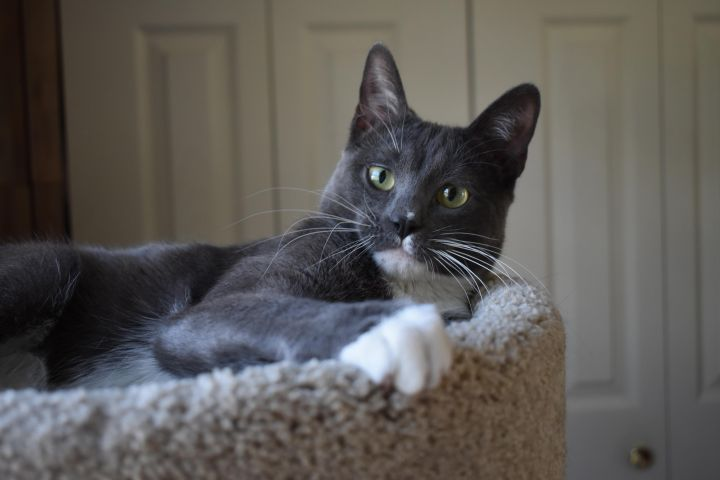 Brewsky, an adoptable Domestic Short Hair in Burlingham, NY