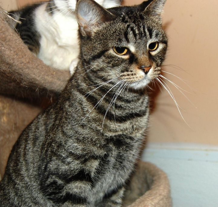 Cricket, an adoptable Tabby in Sanford, NC