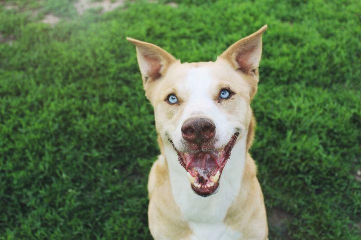 Dog for adoption - Biscuit, a Husky & Labrador Retriever Mix