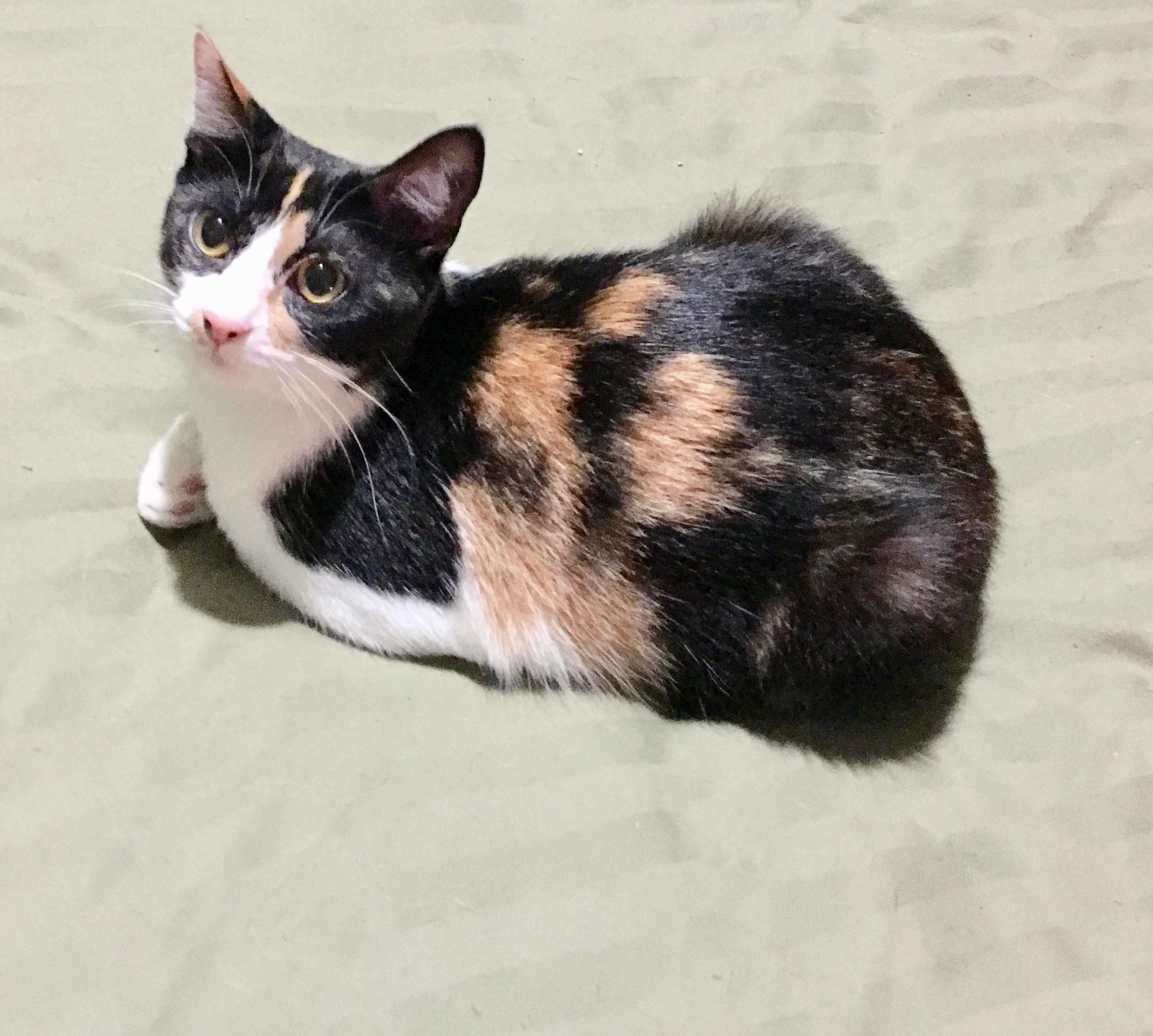 Cat for Adoption – AFFECTIONATE PHYLLIS, near pensacola, FL   Petfinder